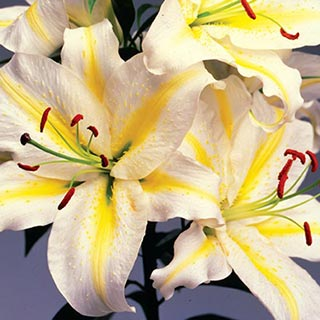 Oriental Lily Gold Band